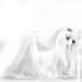 Royal Canin Maltés