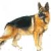 Royal Canin Pastor Alemán